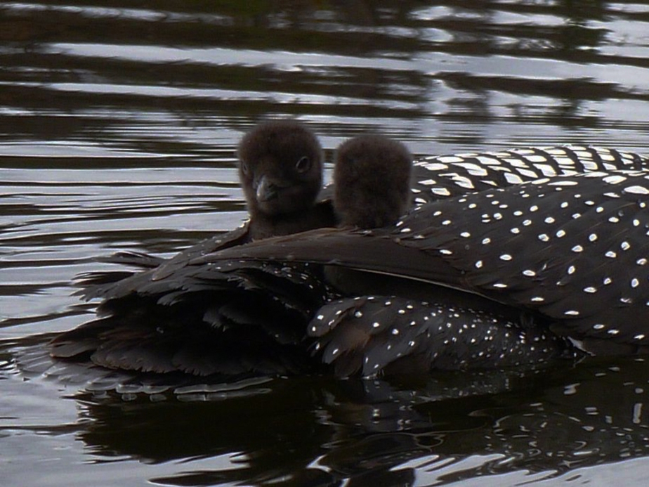 perry_jenny_loon babies